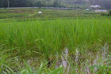 草の中でもがんばる「うるち米」