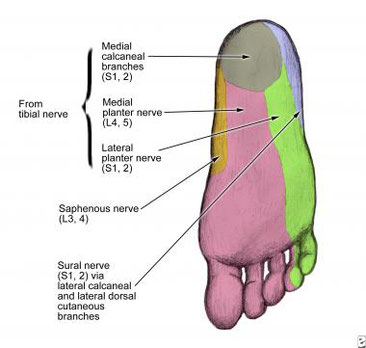 sensory innervation of the tibial nerve