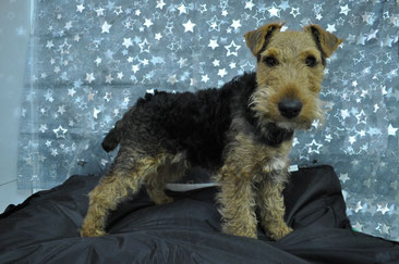 corps welsh terrier avant le toilettage