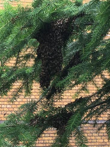 Rettung eines Bienenvolkes
