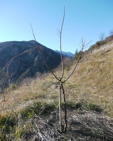Abricotier formé en demi-tige: rabattu  à 1,20m à la plantation. Hiver suivant la plantation.