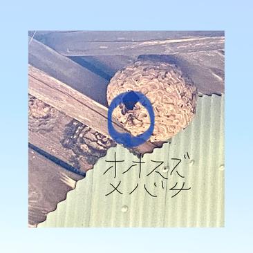 屋根裏に作った蜂の巣に大スズメバチが入っていく写真