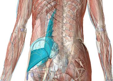腰痛は大腰筋と小殿筋が原因
