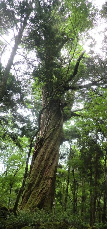 戸塚歩道・モミの大木