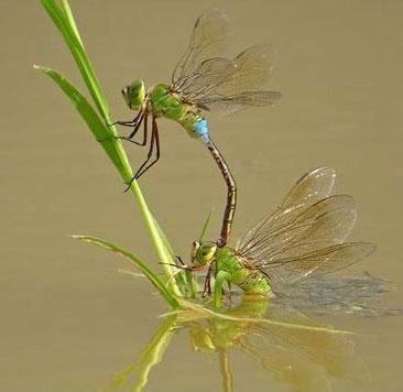 ギンヤンマは水草の水中の茎に卵を埋め込みます(上♂、下♀)    ウェブ「飛ぶ宝石・トンボの世界」から転載