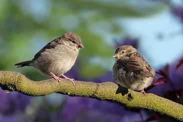 Spatzen, Vogelbeobachtung Mecklenburger Seenplatte