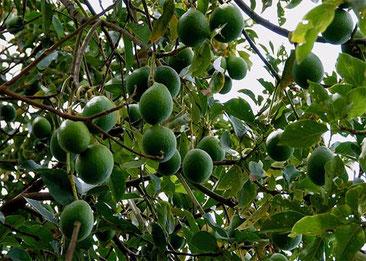 Frutti di Avocado