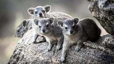 Procavia delle steppe - Yellow-spotted Rock Hyrax - (Heterohyrax brucei)