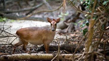 Cefalofo di Aders -  Aders's Duiker - (Cephalophus adersi)
