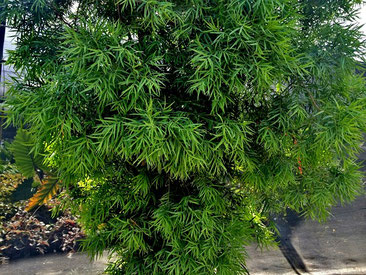 Afrocarpus gracilior - Yellowwood