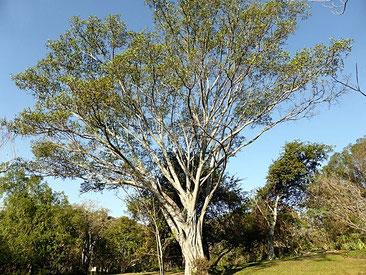 Ficus natalensis - Fico Natale - Mutuba