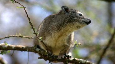 Procavia arboricola - Southern tree hyrax - (Dendrohyrax arboreus)