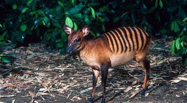 Cefalofo zebra - Zebra duiker - (Cephalophus zebra). Piccolo cefalofo originario delle foreste dell'Africa occidentale