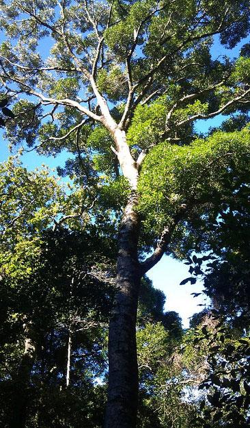 Olea woodiana - Black Ironwood