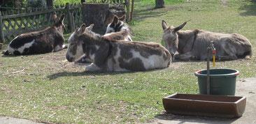 Esel beim Sonnenbad, Wendland
