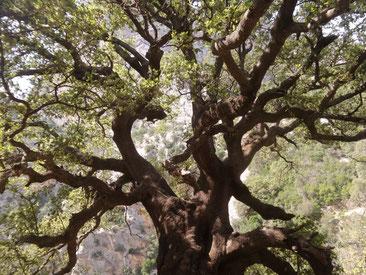 Petra Bosshard-Zwerenz - Baum auf Sardinien, Foto 05.2018