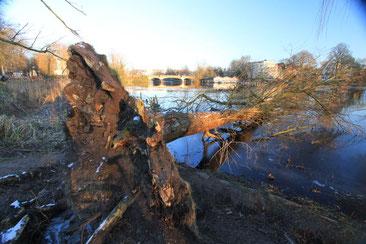 Stürme werfen immer wieder Bäume in die Alster. Sie sind wertvolle Lebensraumstrukturen für zahlreiche Alsterbewohner (Foto: A. Lampe)