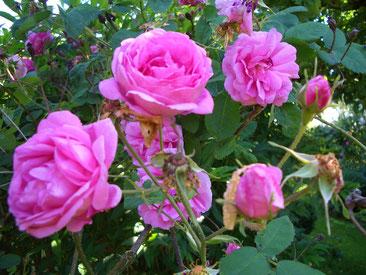 Rosenblüte Schwürbitz