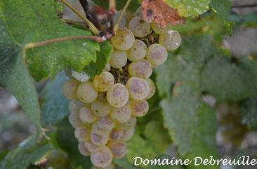 domaine debreuille, tournus, plottes, vin, vigne, proprietaire recoltant, wine, bourgogne, grape, cepage, chardonnay