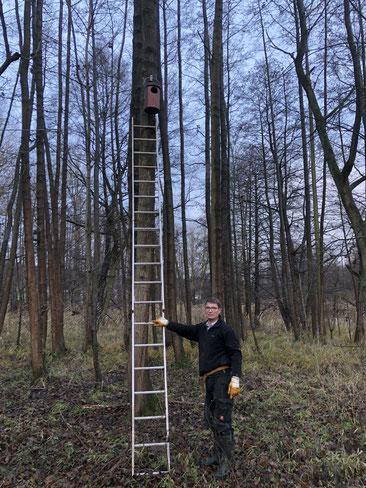 Alu-Leiter an einer Erle mit einem neu aufgehängten Nistkasten darüber