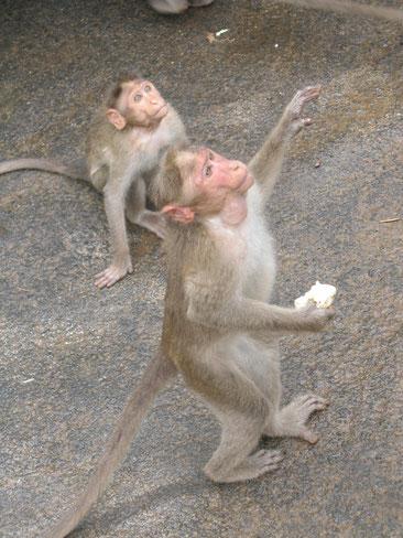 Обезьянки на  улицах Индии- самое обычное дело. Они считаются священными. Их подкармливают,  их никто не обижает.