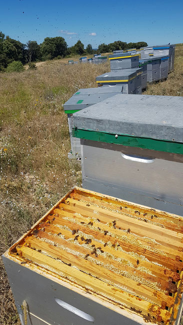 Cadre de miel de lavande a mi-miellée