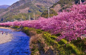 昨年撮影されたカワヅザクラなみき 春の近づきを感じます CC BY-NC-ND 2.1 JP  kazutan3@YCC