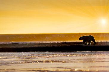 北極の変化がホッキョクグマの生育に大きな影響を与えている。
