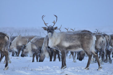 カナダの雪原で育てられるトナカイたち CC BY-NC 2.5 CA Philippe Morin