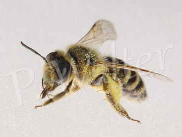 28.06.2020 : ein Sandbienenweibchen nach Landung auf meiner Lampe ...