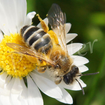 21.04.2016 : Wildbiene am Gänseblümchen