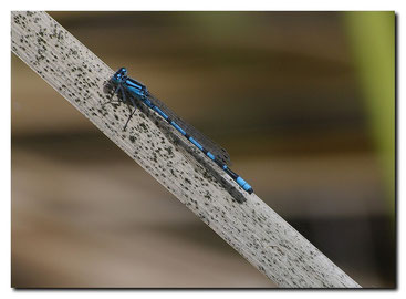 Enallagma cyathigerum male- Agrion porte coupe