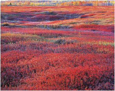 Восход с осенней брусникой. США. Фото Кристофера Беркетта. 1994 г.