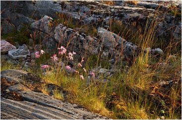 Цветы и камни на закате. Пежостров, Карелия. 2007 год.
