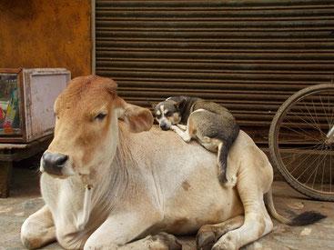 朝晩涼しいので犬が牛で暖を取るのもわりと普通。