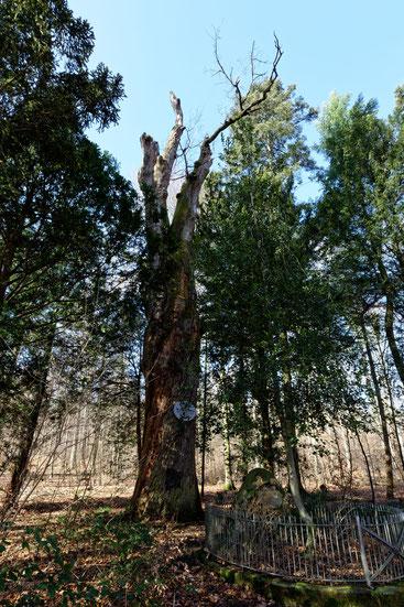 Klipsteineiche bei Darmstadt