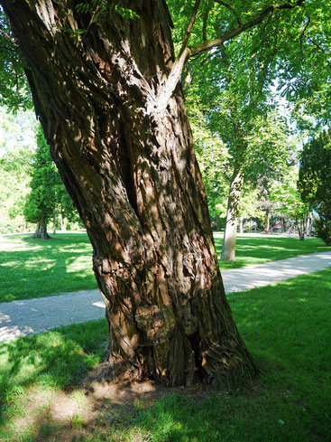 Robinie im Schlossgarten Hanau
