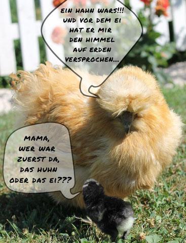 seidenhühner seidenhuhn kärnten klagenfurt bruteier