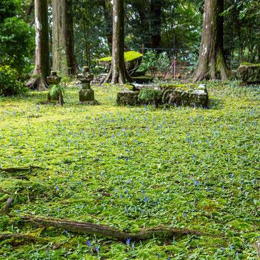 妙法山のアサマリンドウ