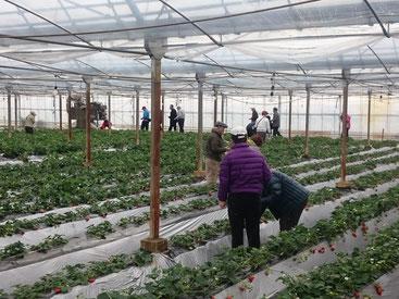 山武市内の苺園でのいちご狩りの様子
