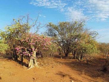 ©Textes et Photos Pascal Mawuli Macé Mawuli-Ethiopie Elephant threes, arbre éléphant, vallée de l'Omo, Omo Valley