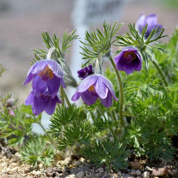 オキナグサ(紫)