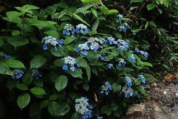 エゾアジサイ (蝦夷紫陽花) アジサイ科 アジサイ属