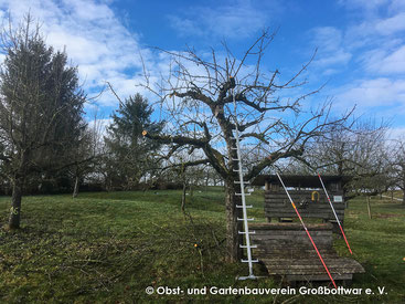 Obstbaum nach dem Schnitt.