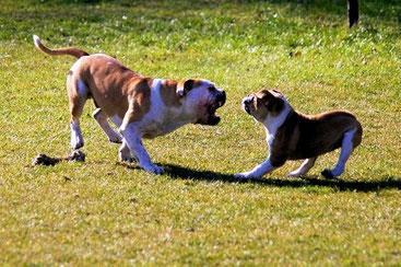 Welpen und Junghunde können ihre erwachsenen Artgenossen oft in Rage versetzen. Achtung: Den oft zitierten Welpenschutz gibt es nicht!