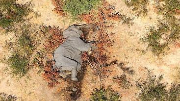 Uno degli elefanti morti in Botswana