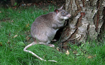 Ratto con il marsupio del Gambia (Cricetomys gambianus)