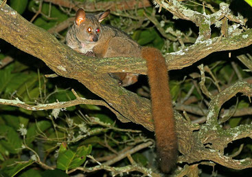 Galagone gigante bruno - Brown Greater Galago (Otolemur crassicaudatus)