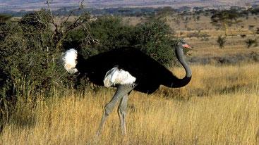 Somali Ostrich