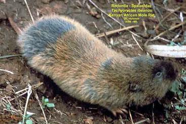 Ratto talpa keniota - Kenyan mole-rat (Tachyoryctes ibeanus)
